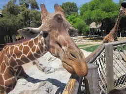 Ambivalent Giraffe