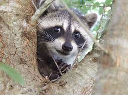 RAccoon Ninwashui smiles