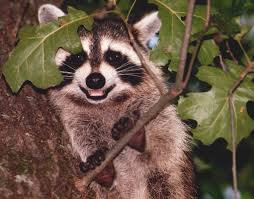 Smiling Raccoon Ninwashui